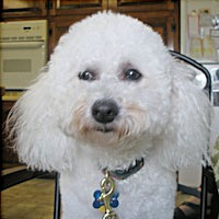 Buddy the Poodle
